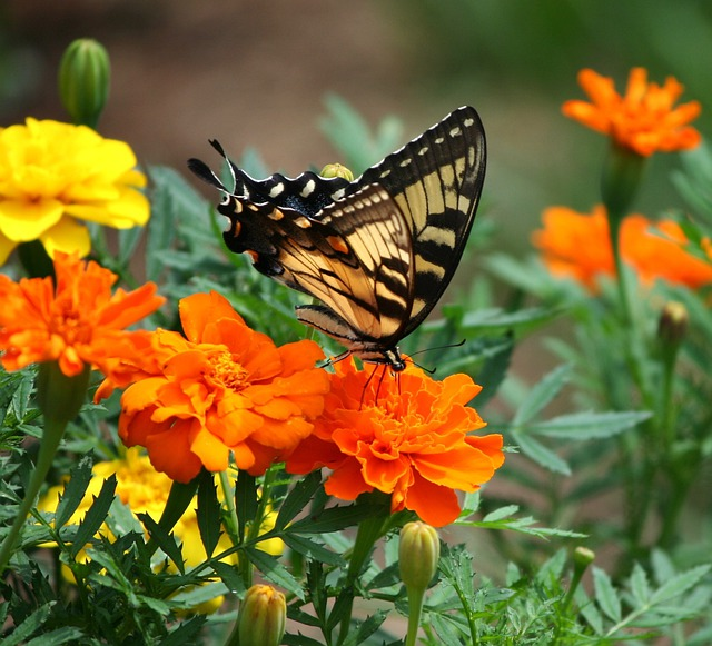 Free Photo Old World Swallowtail Butterfly Free Image