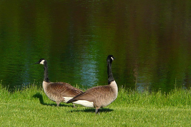 Free Photo: Canada Geese, Goose, Canadian