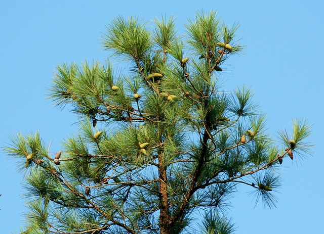 Free photo: Pine, Tree, Cones, Coniferous - Free Image on Pixabay ...