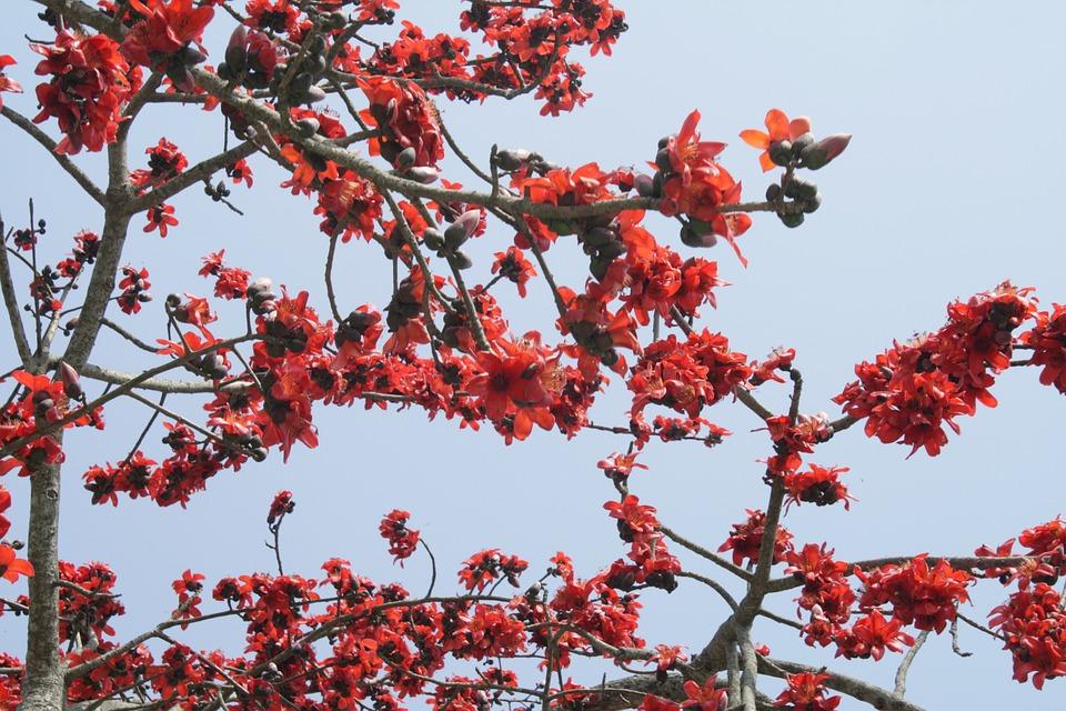 Bombax ceiba silk cotton flower free photo on pixabay bombax ceiba silk cotton flower tree blossoms mightylinksfo