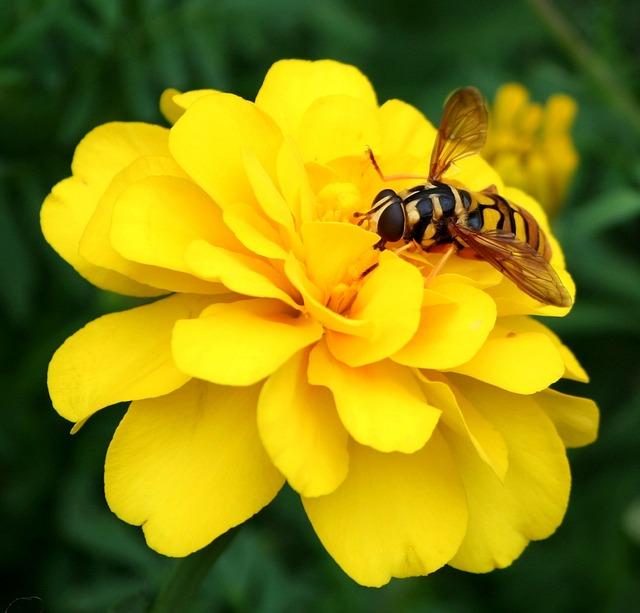 Foto gratis: Hornet, Wasp, Abelha, Flor, Amarela - Imagem ...