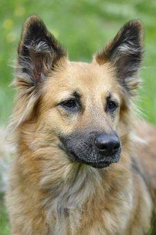 Dog, Animal, Portrait, Head, Melancholic