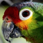 parrot, ave, captivity