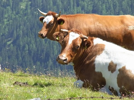 Cows, Two, Cow, Nature, Cattle, Cute