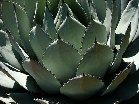 Pita Century Plant Agave Cactus Plant Gree