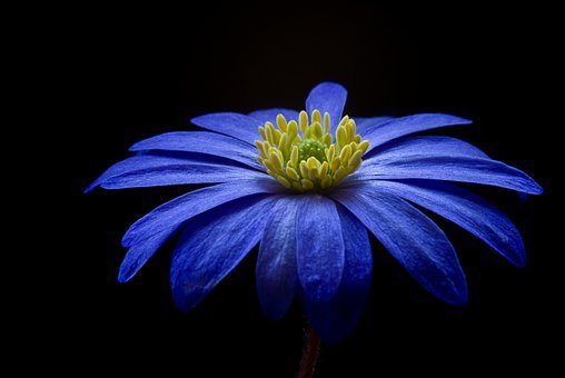 Anemone, Flower, Blossom, Bloom, Blue