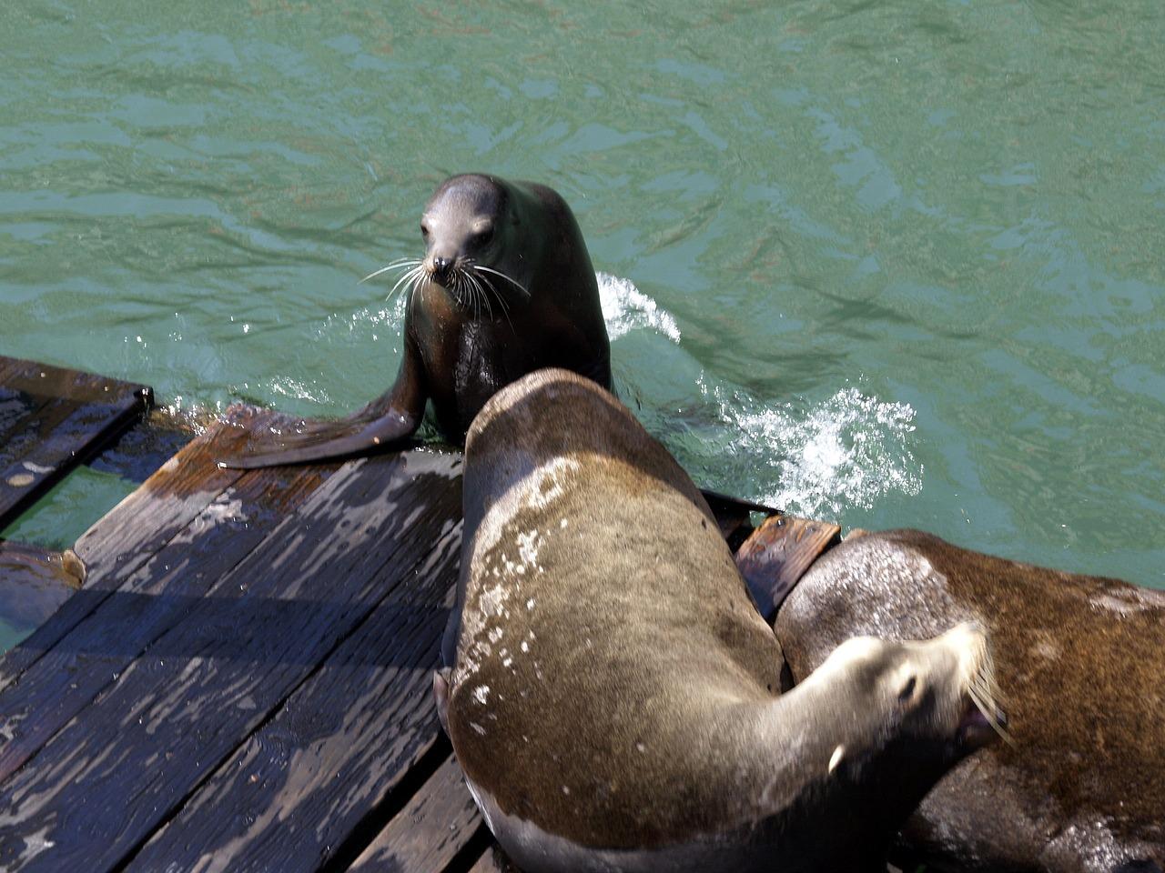 密封,动物,太平洋,海洋,哺乳动物,野生动物,极性,动物园,水,游泳者,人居,猎人,北极,濒危,南极,可爱,池,休息,潜水,自然,水肺,鱼,游泳,生态系统,播放