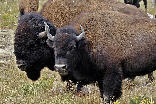 Bison Head Animal 183 Free Photo On Pixabay