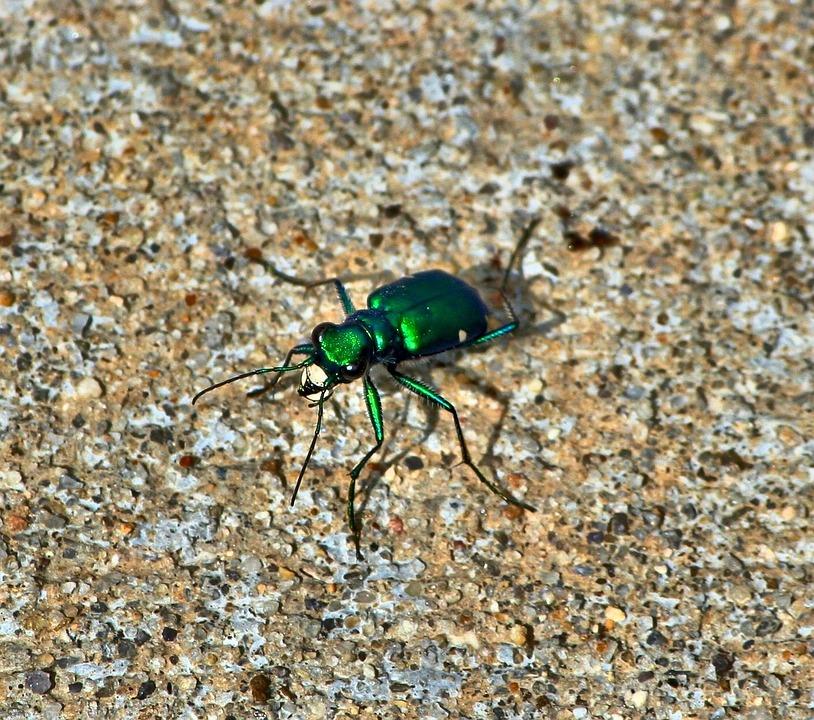 Melihat Enam Macan Kumbang Foto Gratis Di Pixabay
