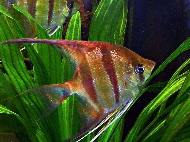Free photo angel fish ornamental fish water free for Ornamental fish