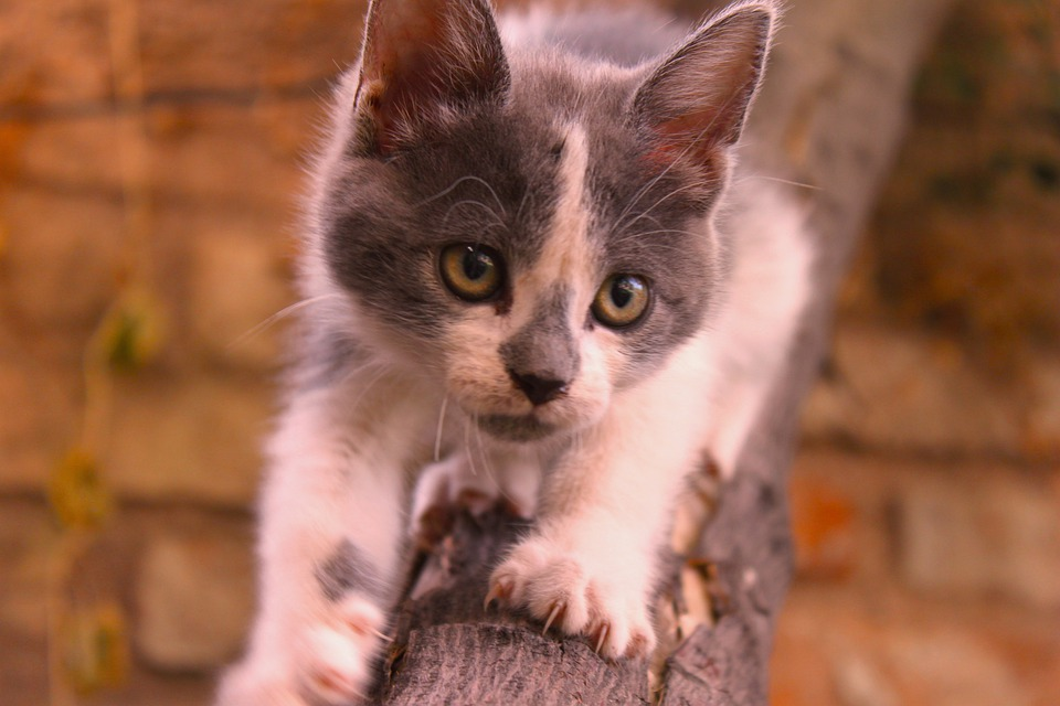 chat chaton tlcharger descendre