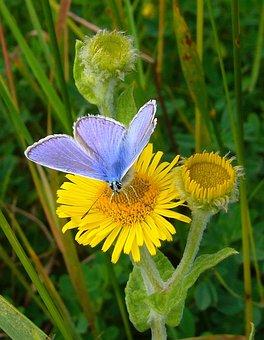 Azul Común, Mariposa, Polyommatus Icarus