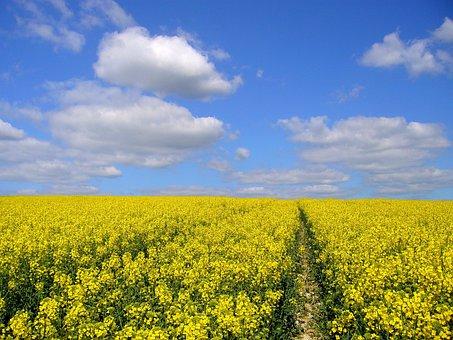 Yellow, Field, Oilseed Rape