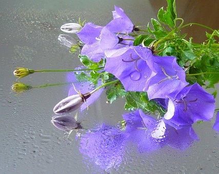 Campanule, Fleur, Couleur, Floraux