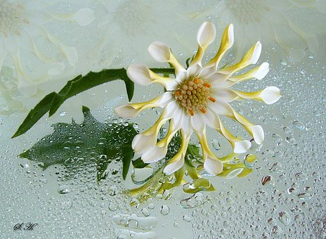 Osteospermum, Fleur Blanche, Fleur