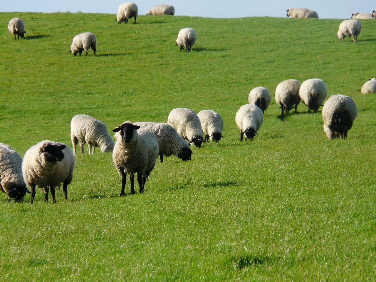 Картинки овец стадо, картинки аватарку