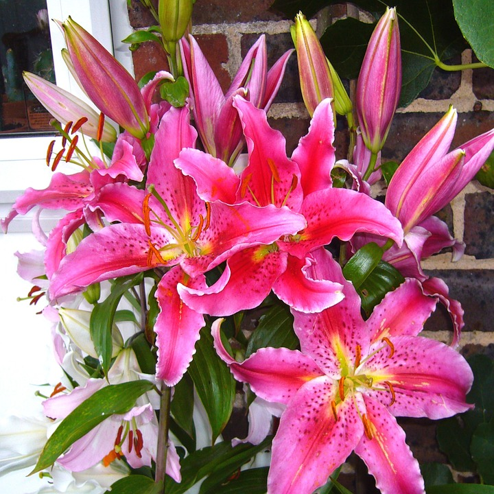 free photo stargazer lily, pink lilles  free image on pixabay, Beautiful flower