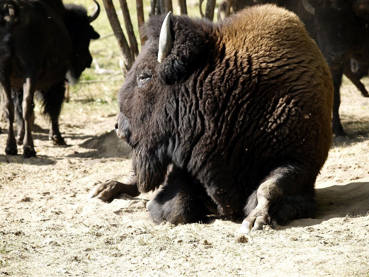 梦见一只小野牛是什么寓意? 梦见野牛和一些野生动物