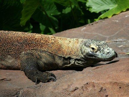 Dragon De Komodo, Lézard