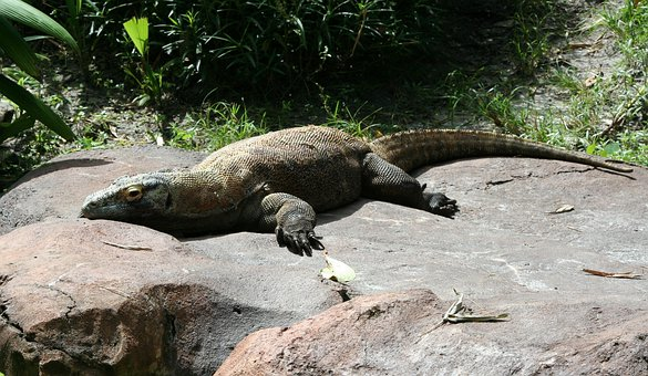 Komodo Dragon Komodo Monitor Lizard Island