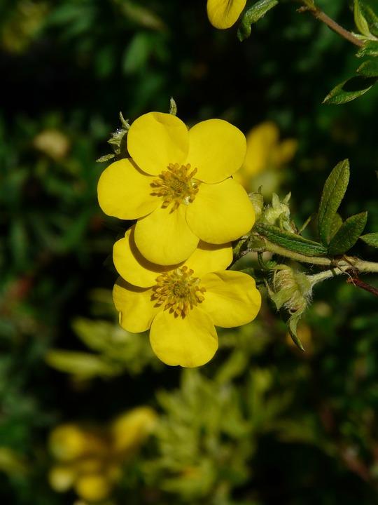 Gratis foto vinger struik bloemen gele bush gratis afbeelding op pixabay 58839 - Bush architectuur ...