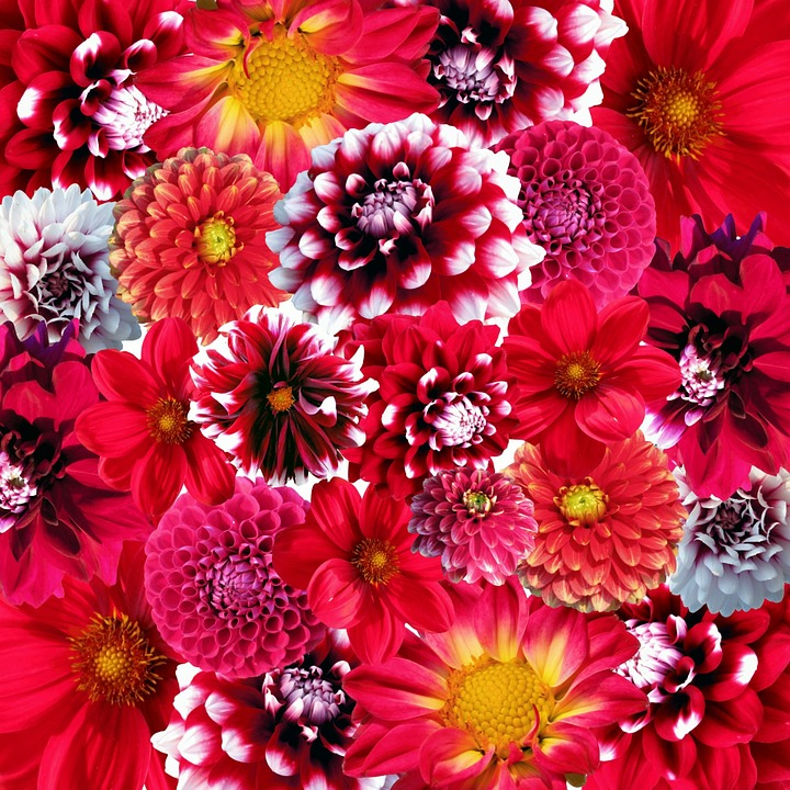 Free photo autumn dahlias flowers blossom free image on pixabay 58882 - Flowers that bloom in autumn ...