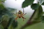 pająk, pajęcza sieć, w sieci web