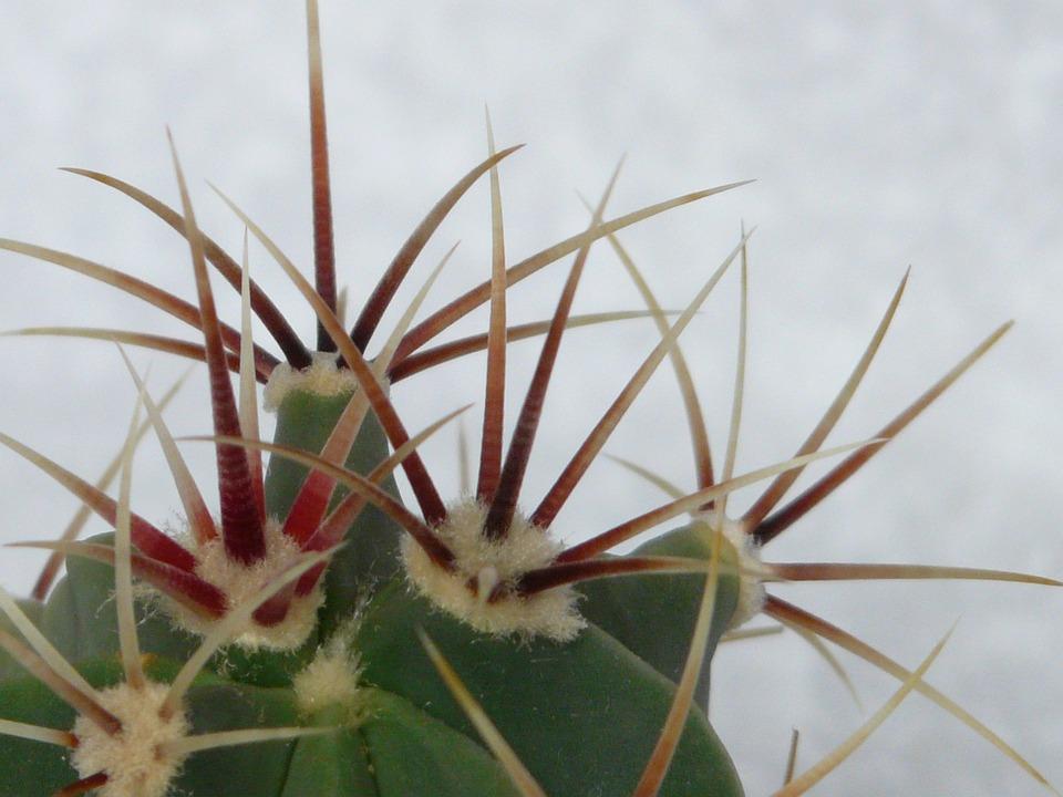 Image result for Kaktus Ferocactus