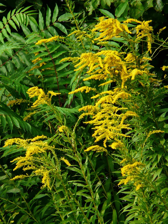 Planting Goldenrod In The Garden: Free Photo: Canadian Goldenrod, Golden Rod