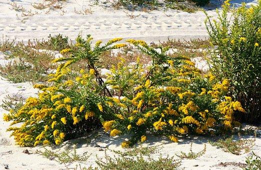 アキノキリンソウ, セイタカアワダチソウ, 植物, 花, 黄色, 花粉, 花粉症