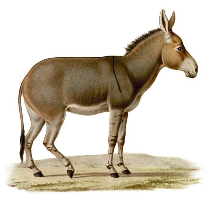 Illustration gratuite ne commun cheval de trait dessin - Dessin cheval de trait ...