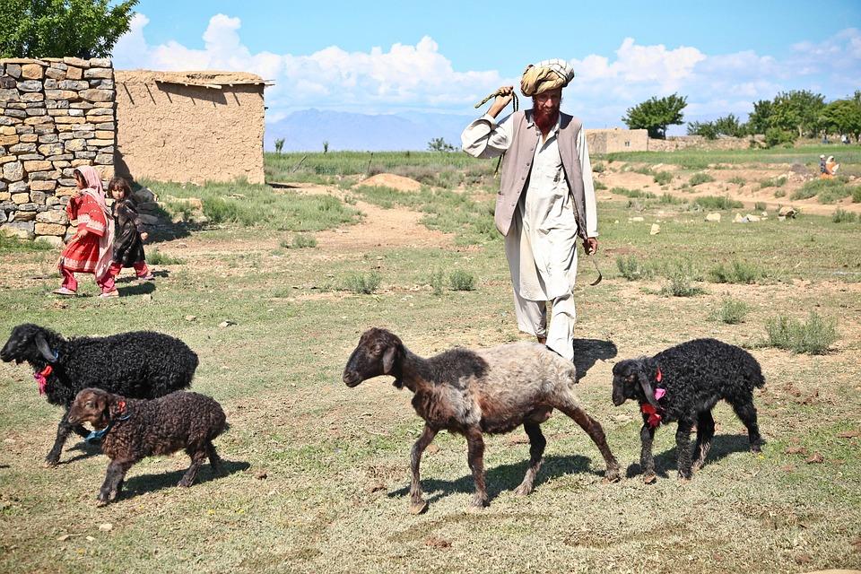 shepherd sheep man  u00b7 free photo on pixabay