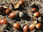 nuts, oak
