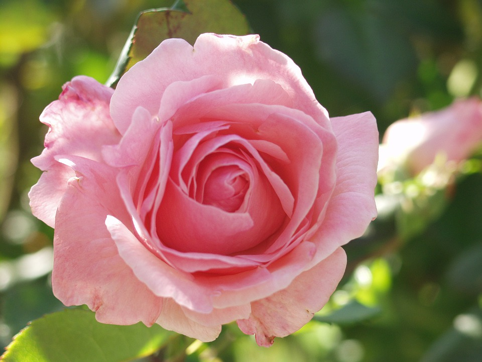 Free Photo Rose Pink Flower Garden Plant Free Image