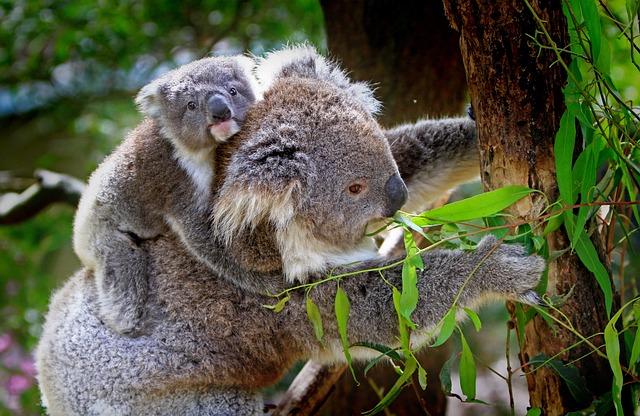 koalas tiere tierwelt  kostenloses foto auf pixabay