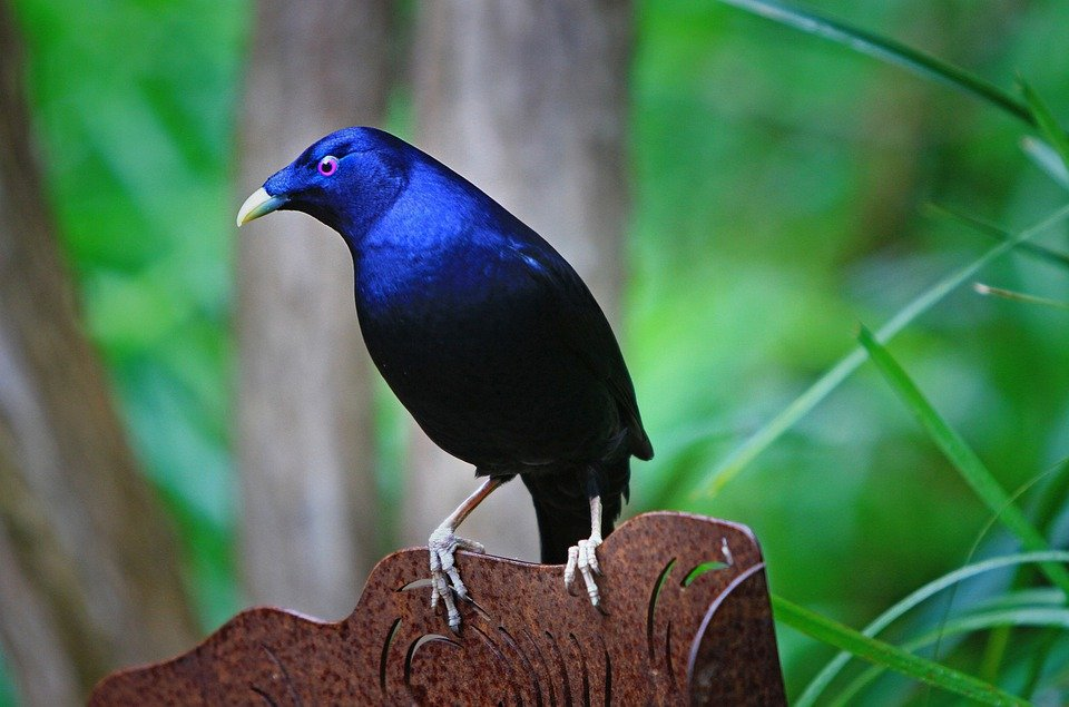 Satin Bowerbird Ptilonorhynchus · Free Photo On Pixabay