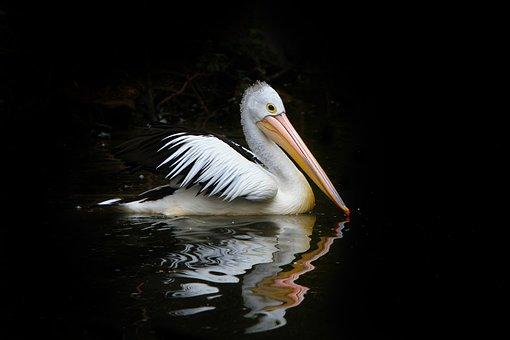 Pelican, Bird, Sea Birds, Water, Nature