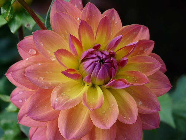 free photo dahlia garden pink yellow purple free