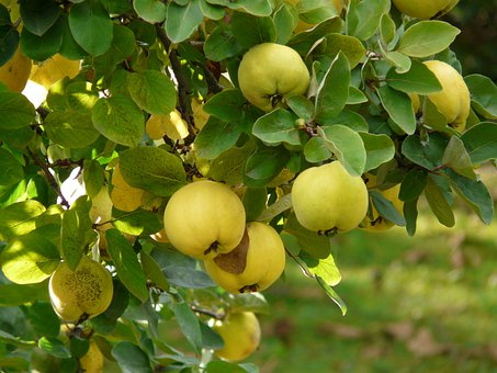 Pigwa, Owoców, Cydonia Oblonga, Cydonia