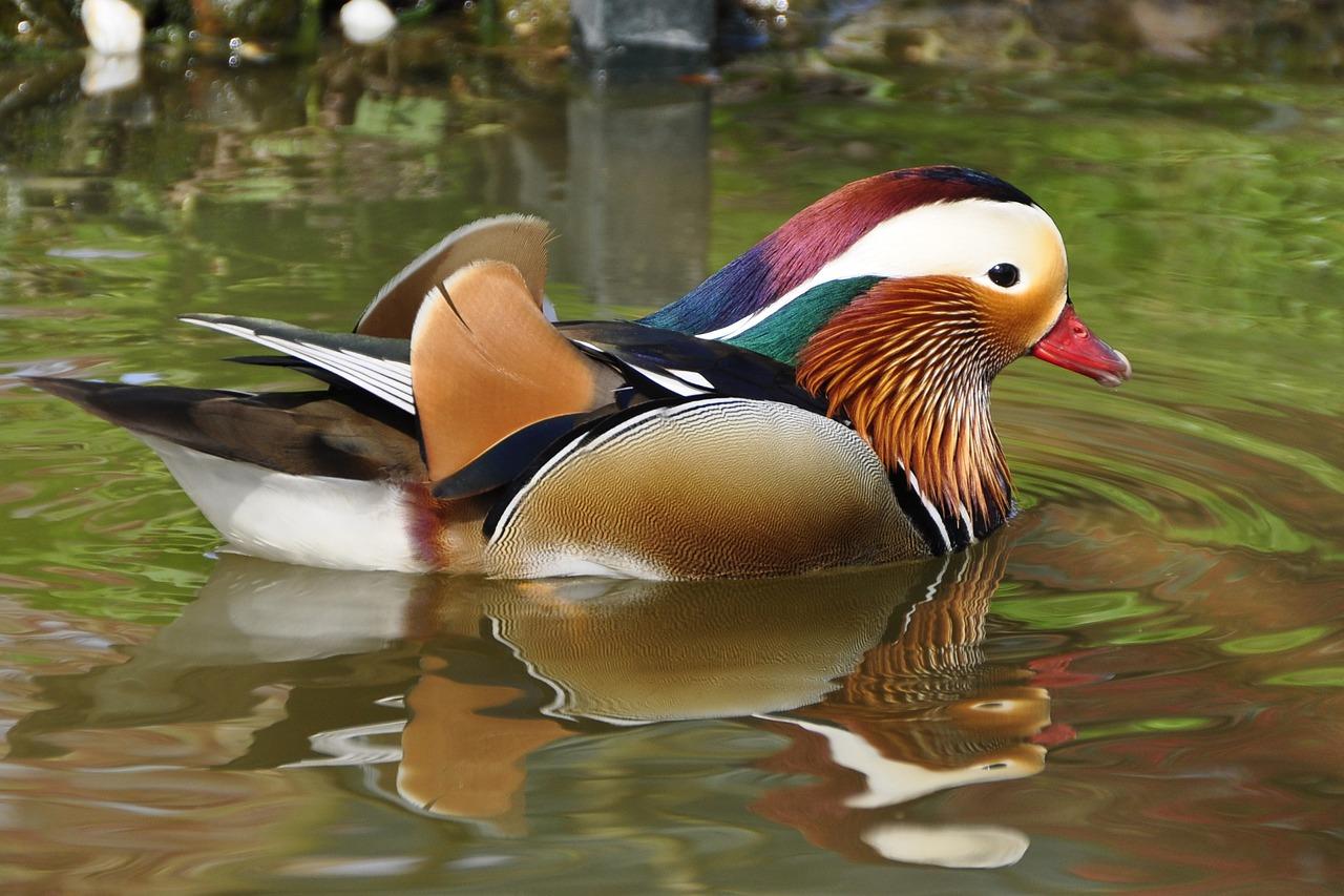 duck-61679_1280.jpg