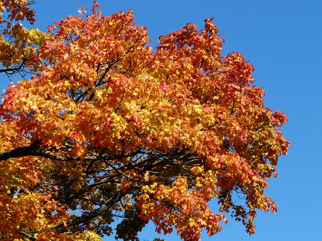 Free photo: Autumn Tree, Maple, Coloring, Red