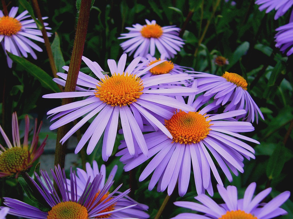 aster tongolensis michelmas daisy  u00b7 free photo on pixabay