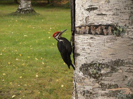Woodpecker, Bird, Picking, Tree