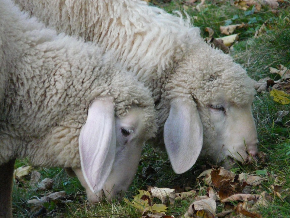 List of Synonyms and Antonyms of the Word: sheep ears