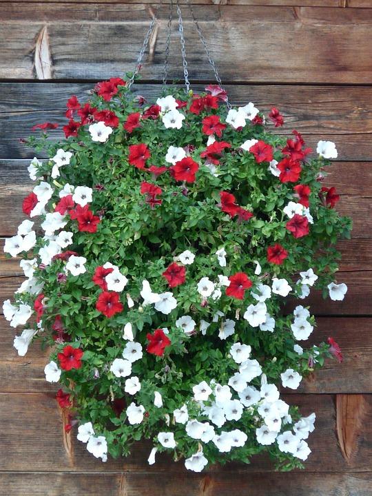 Garten Petunie Petunien Kostenloses Foto Auf Pixabay
