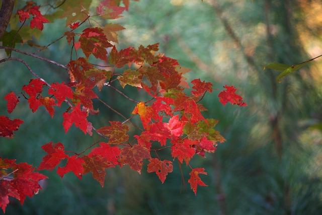 maple leaves fall autumn  u00b7 free photo on pixabay