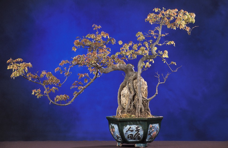 Bonsai Acer Buergerianum árbol De Foto Gratis En Pixabay
