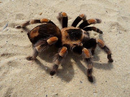 Tarantula, Brachypelma