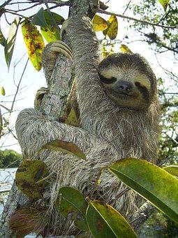 Pygmy Sloth Sloth Bradypus Pygmaeus Three