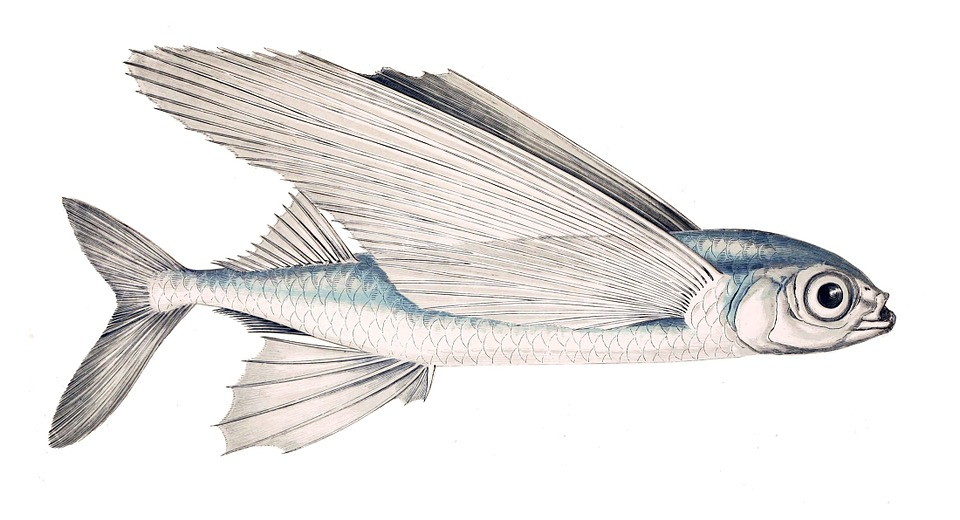 free illustration schwalbenfisch fish flying fish